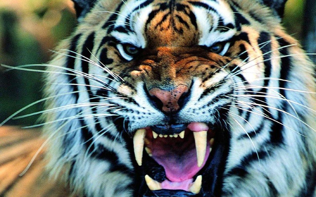 Tiger Wallpaper High Resolution #10847 Wallpaper | Cool ...