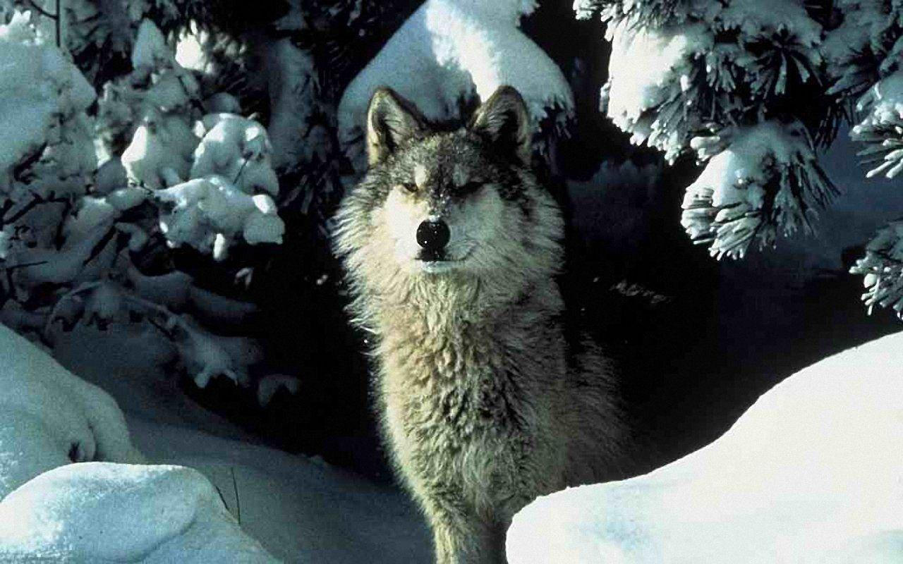 Related Pictures 1280x800 White Wolf Wallpapers Free Wallpapers Car