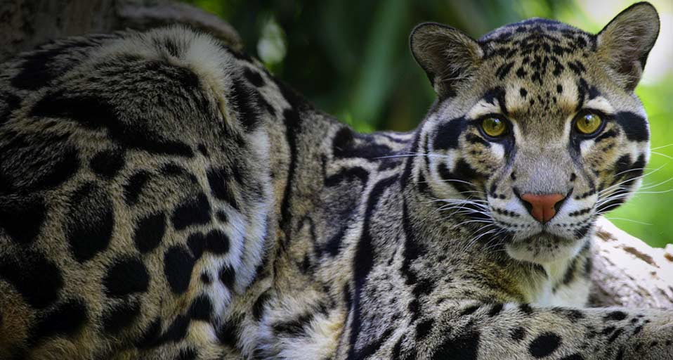 clouded leopard wallpaper - photo #4