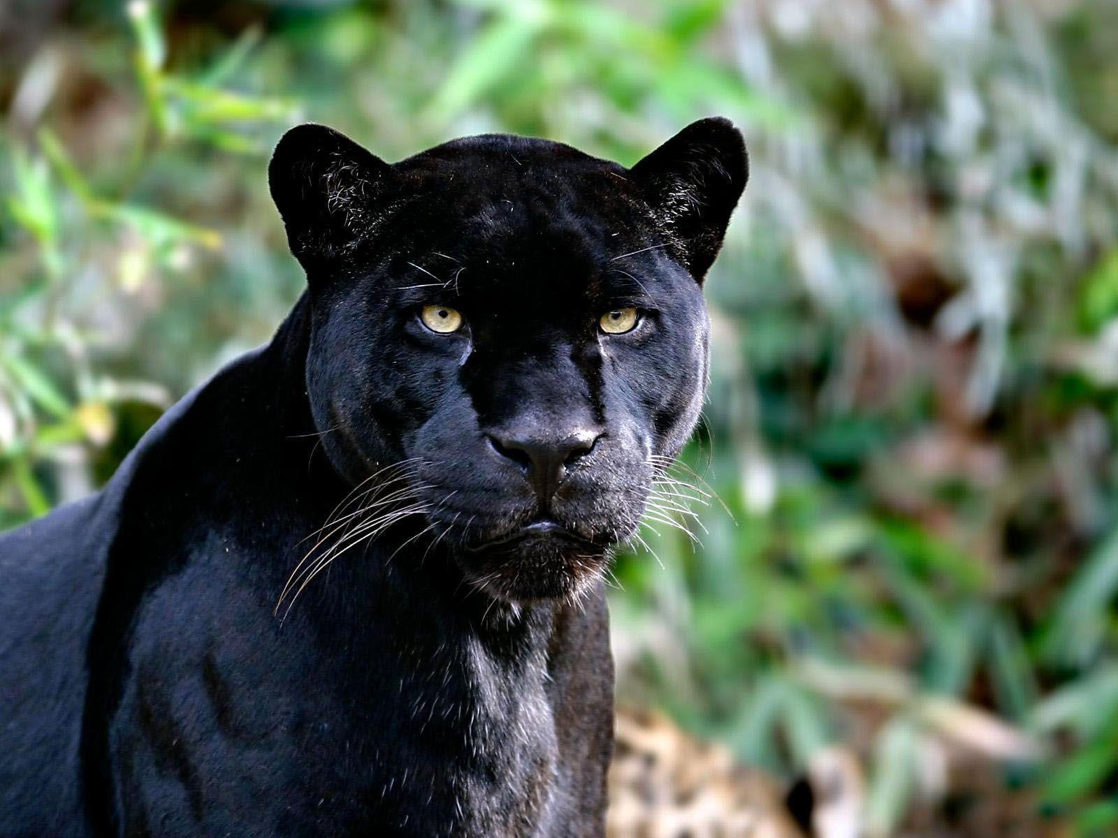 black leopard backgrounds - photo #31
