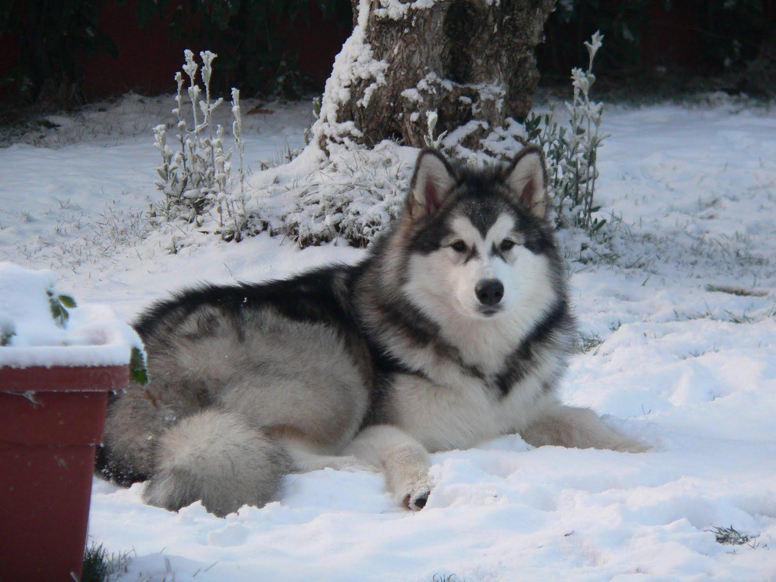 Alaskan Malamute in the winter forest photo and wallpaper ...