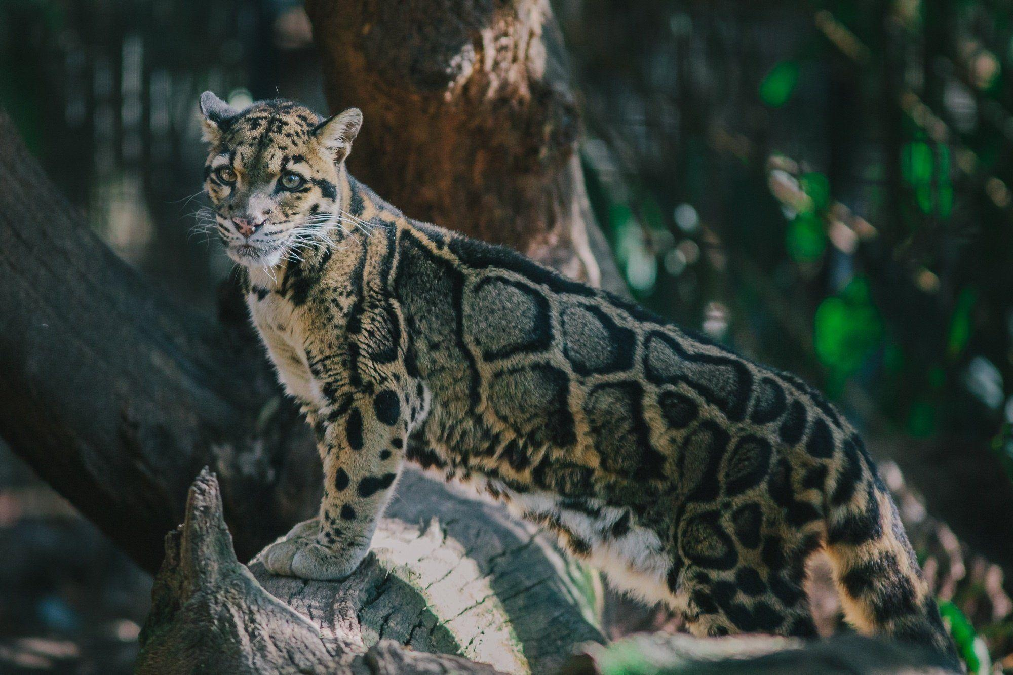 clouded leopard wallpaper - photo #12