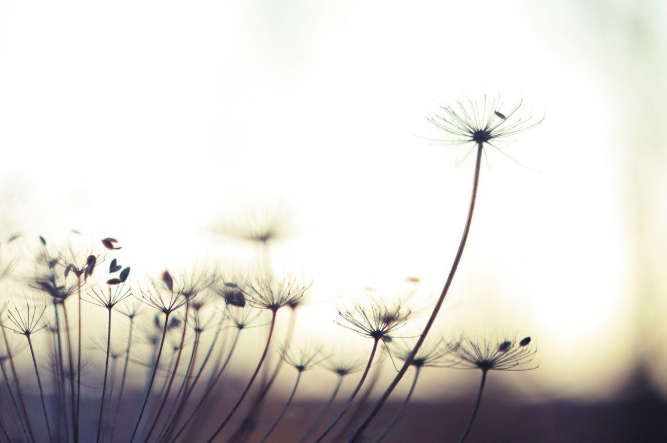Wallpapers Collection «Dandelion Wallpapers»