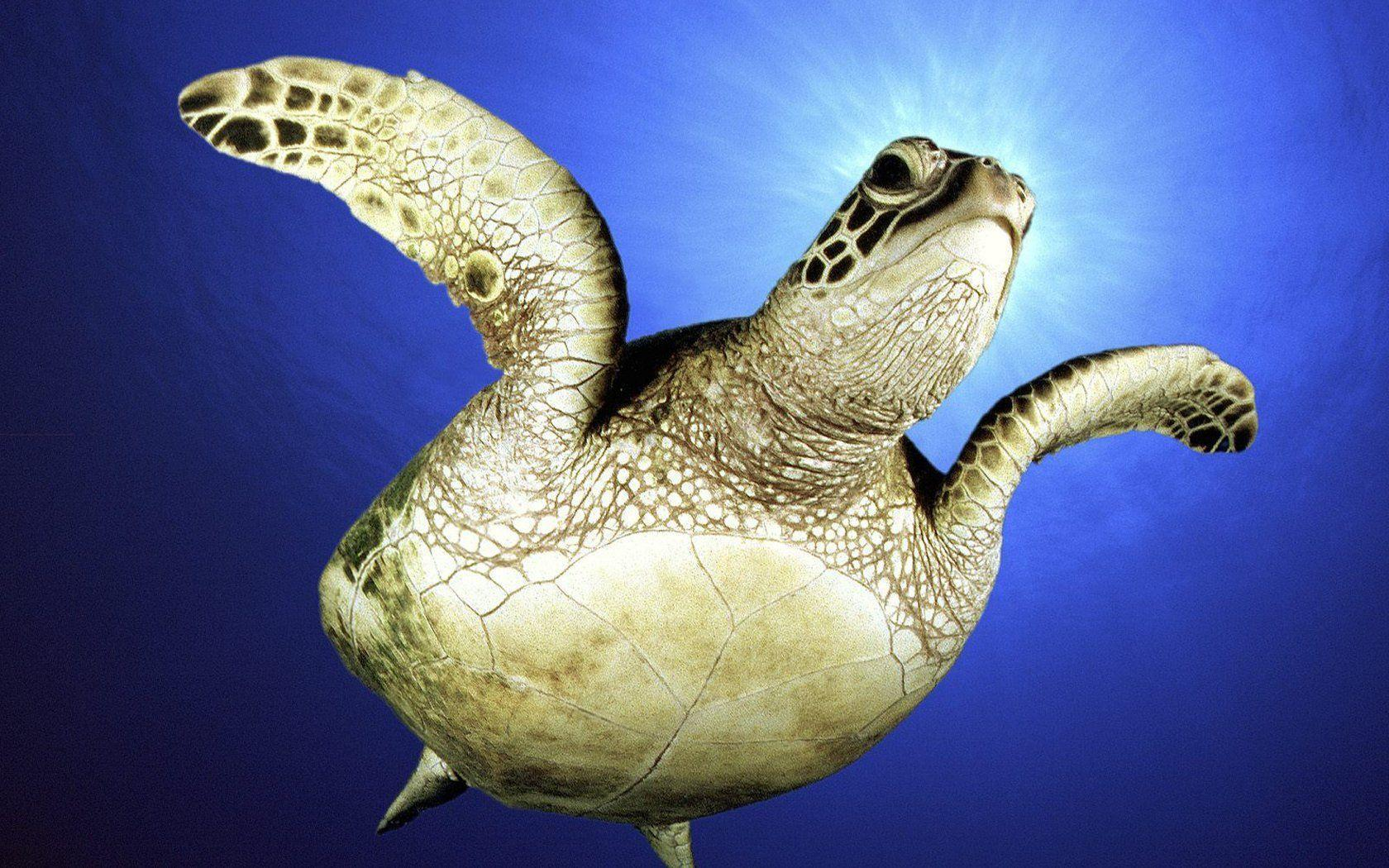 Sea Turtle In High Definition Wallpapers