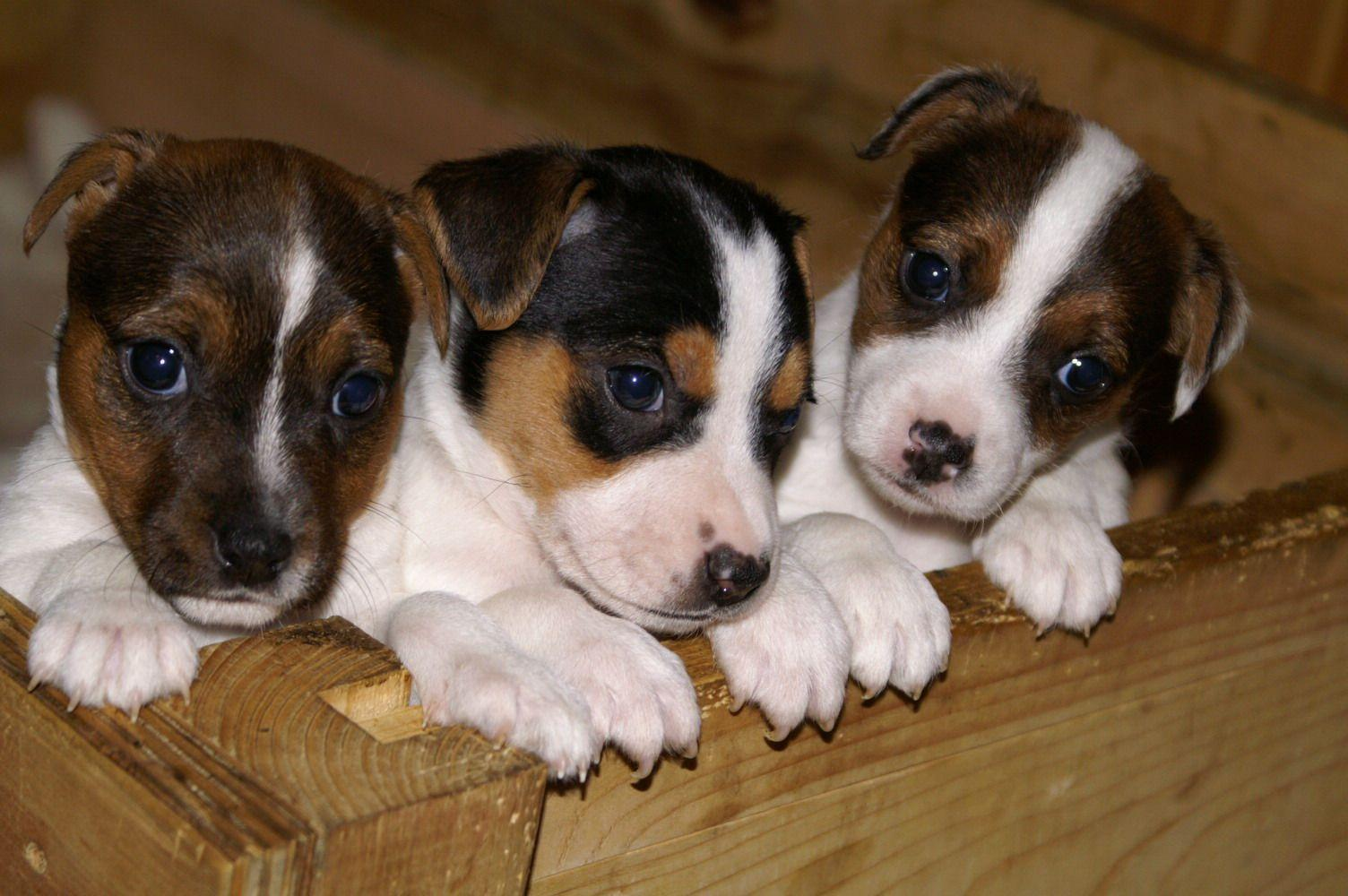 Jack Russell Terrier Wallpapers - Wallpaper Cave Jack Russell Terrier Wallpaper