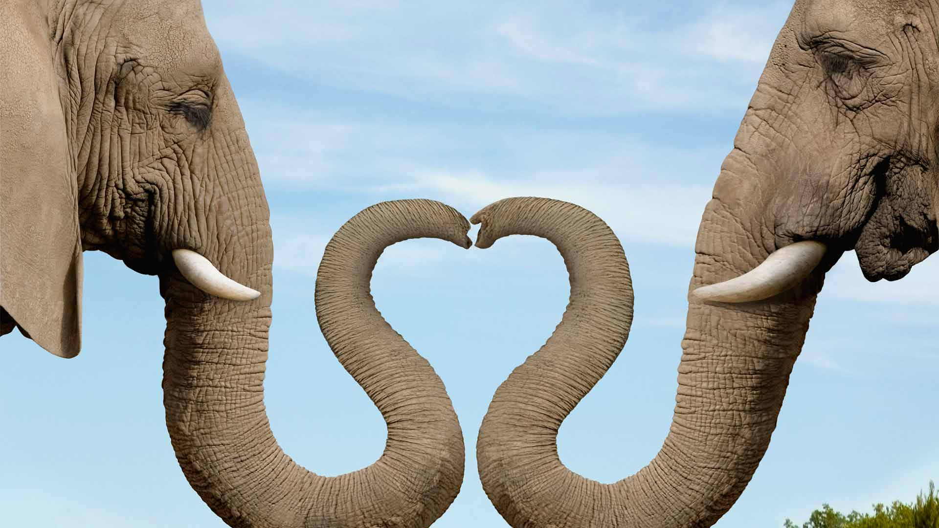 Wallpaper download elephant - Love Nose Cute Elephant Wallpaper Animal Desktop Background