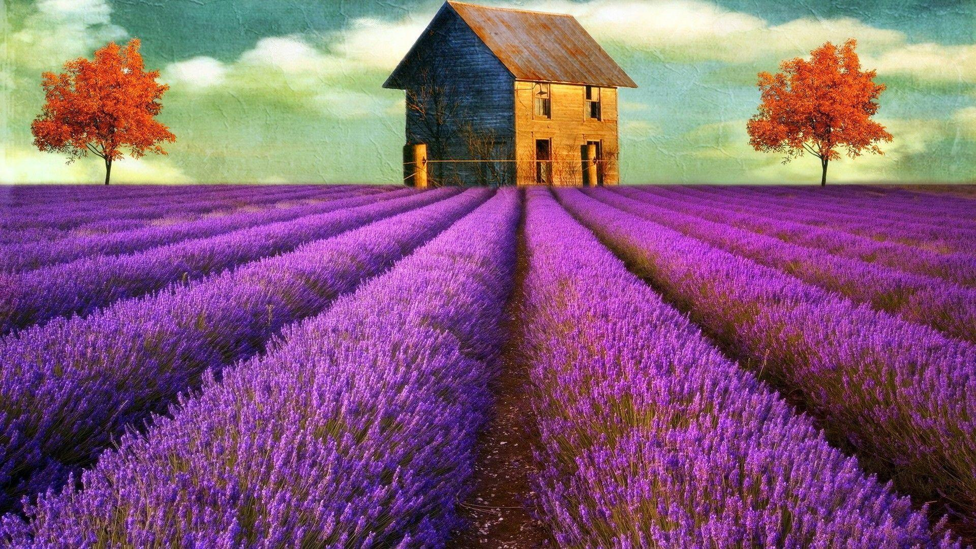 Lavender Flower Wallpapers Wallpaper Cave