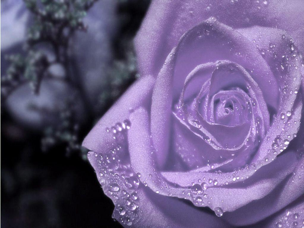 Purple Rose Wallpapers...