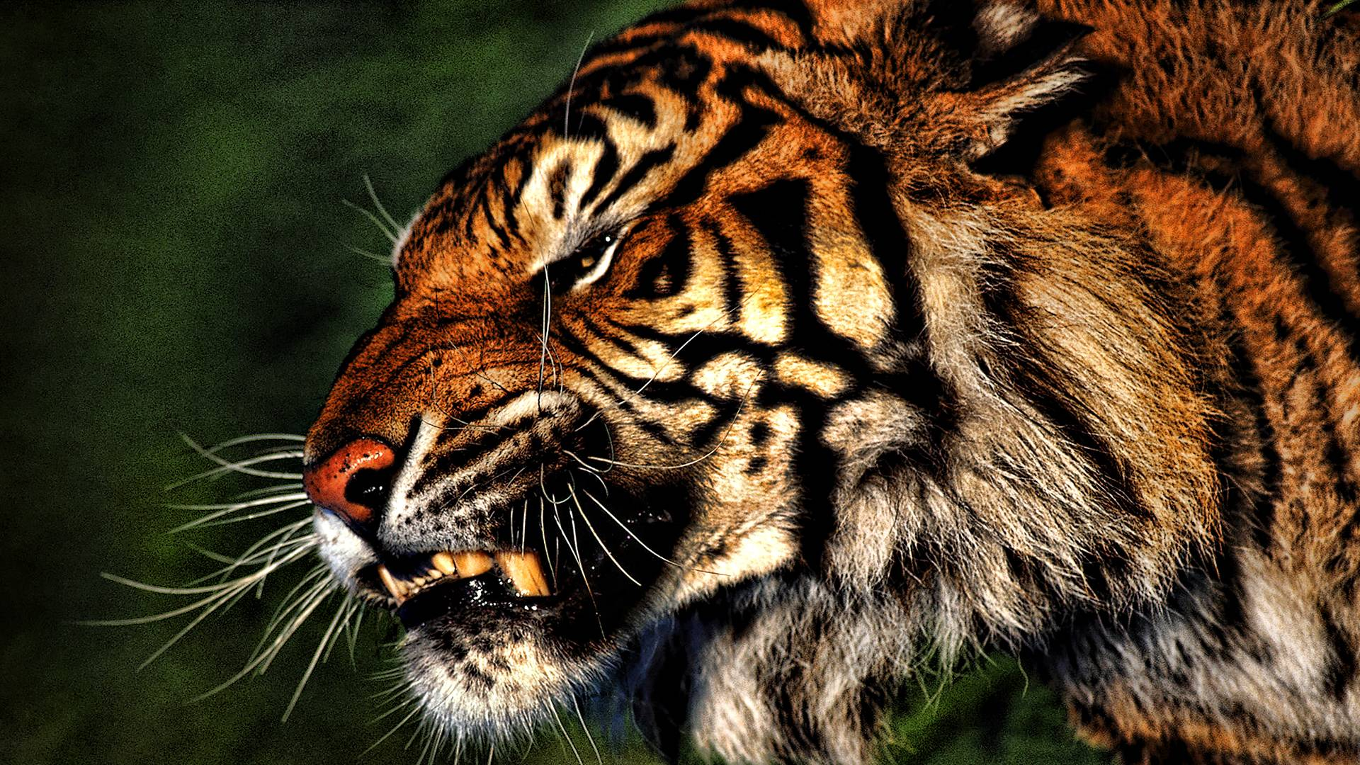 Image of: Lion Tiger Wallpaper Tiger Wallpaper Part Wallpapercave Tiger Hd Wallpapers Wallpaper Cave