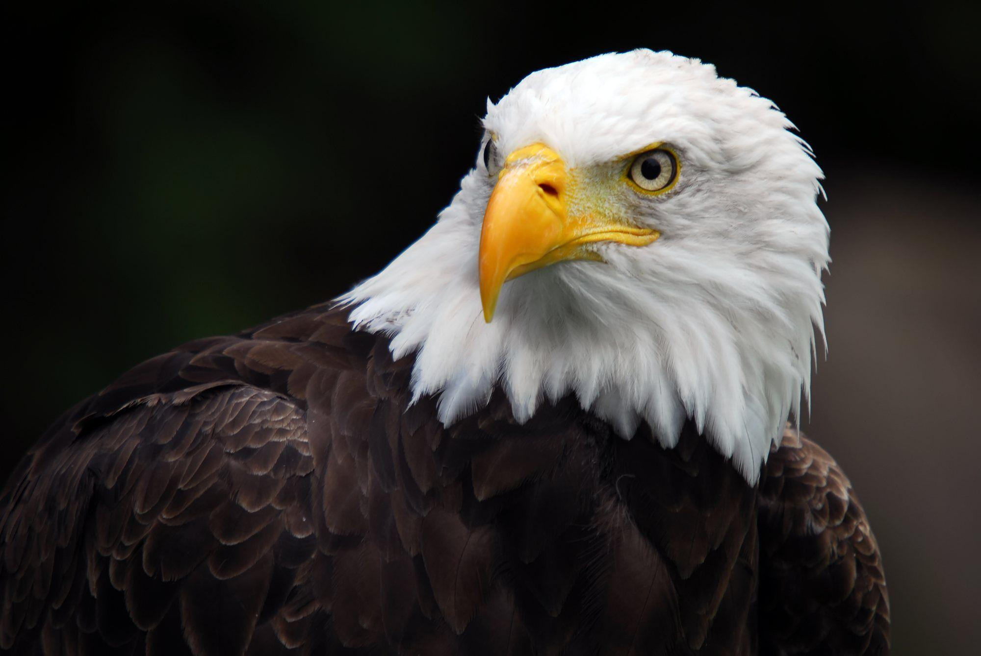 Wallpapers For > 3d Wallpaper Hd Eagle