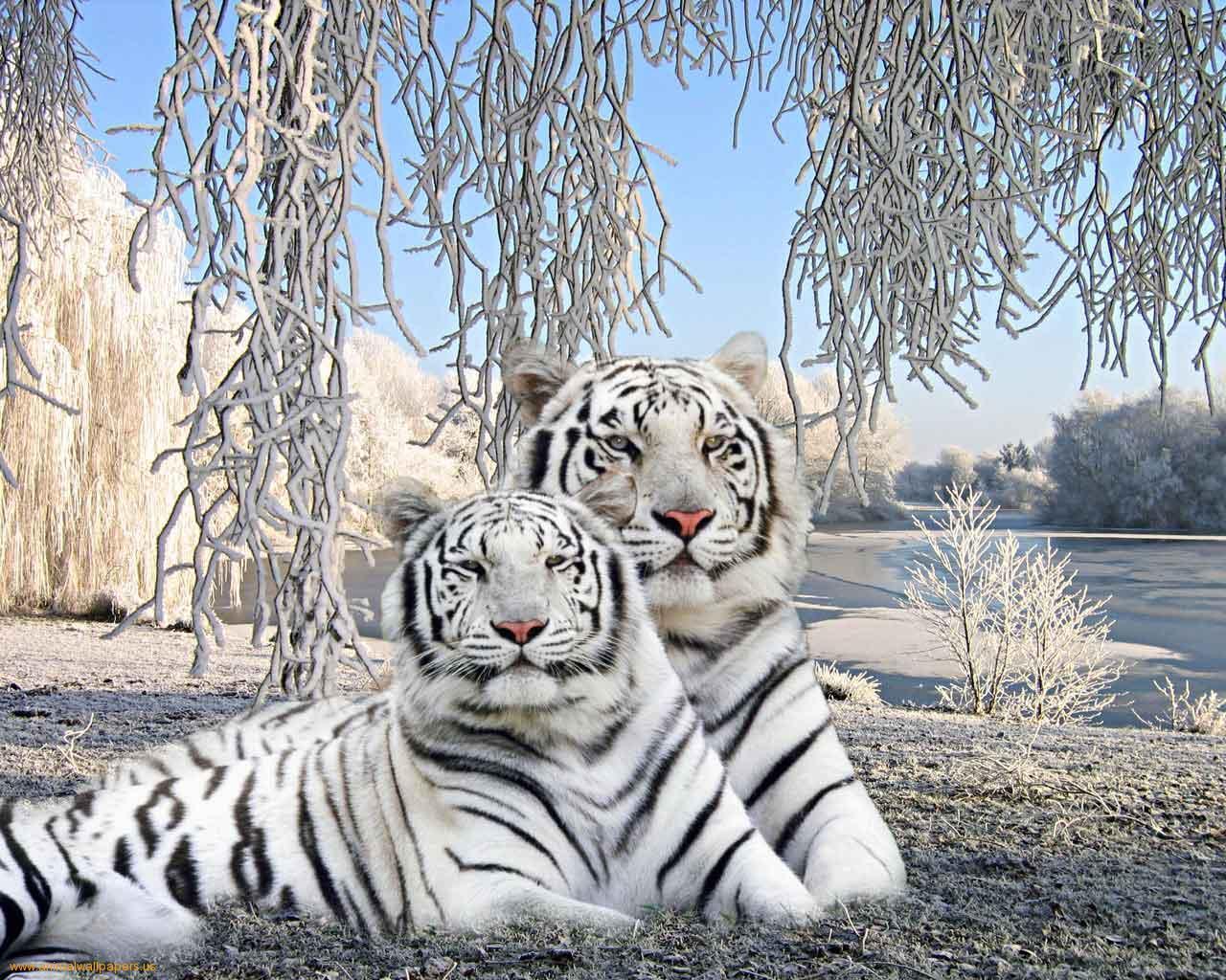 tiger wallpaper widescreen - photo #8