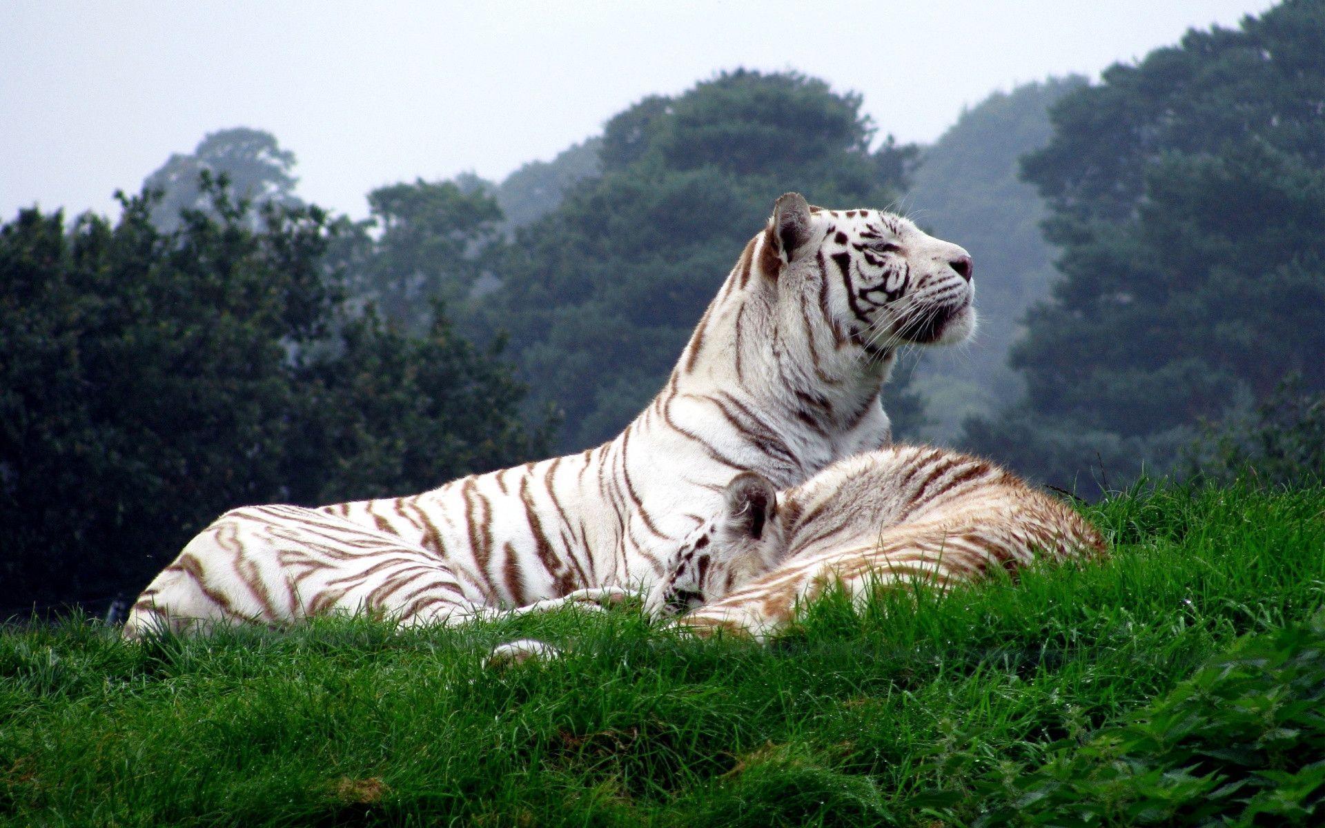 tiger wallpaper widescreen - photo #7