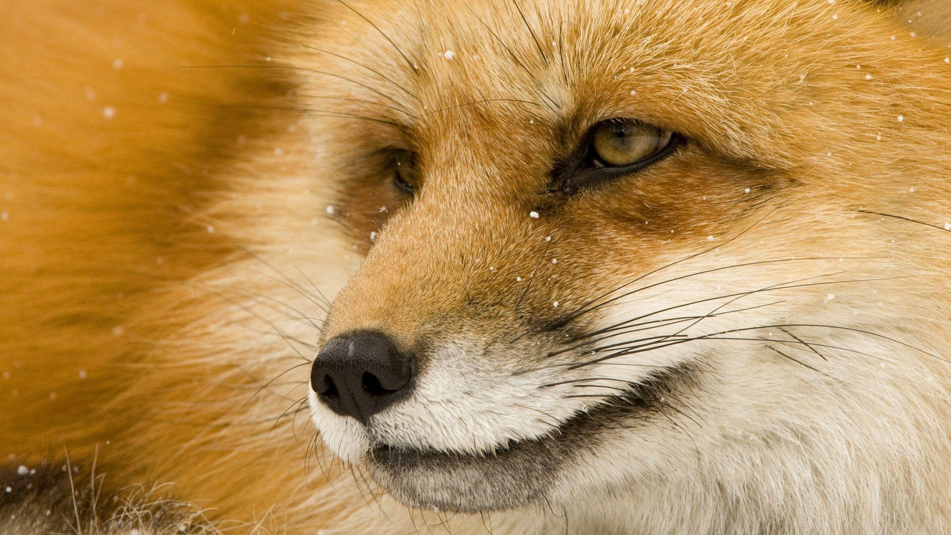 Wallpapers For > Baby Red Fox Wallpaper