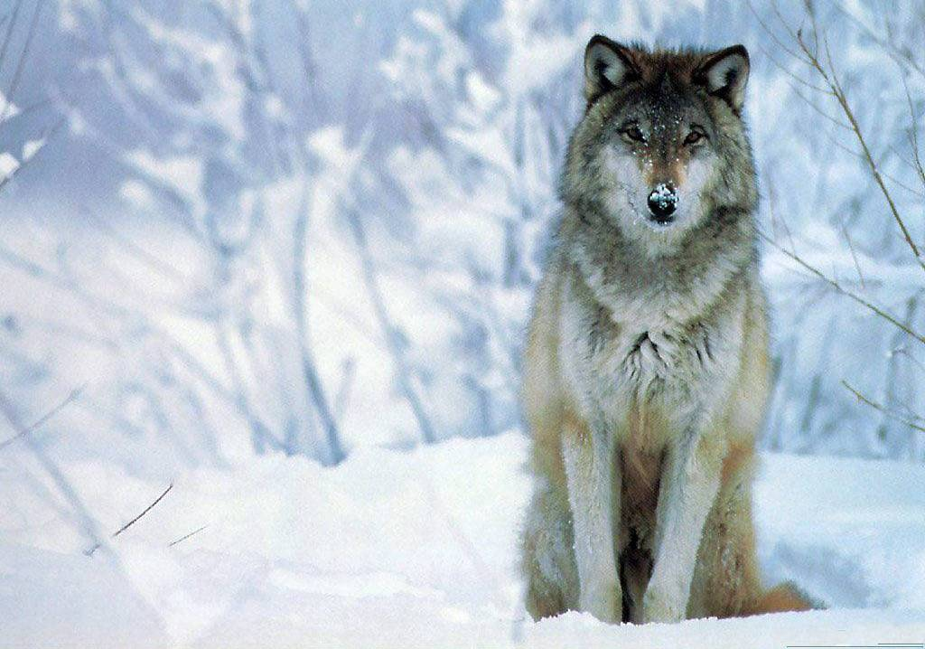 Animals For > Cool Wolf Wallpapers Hd