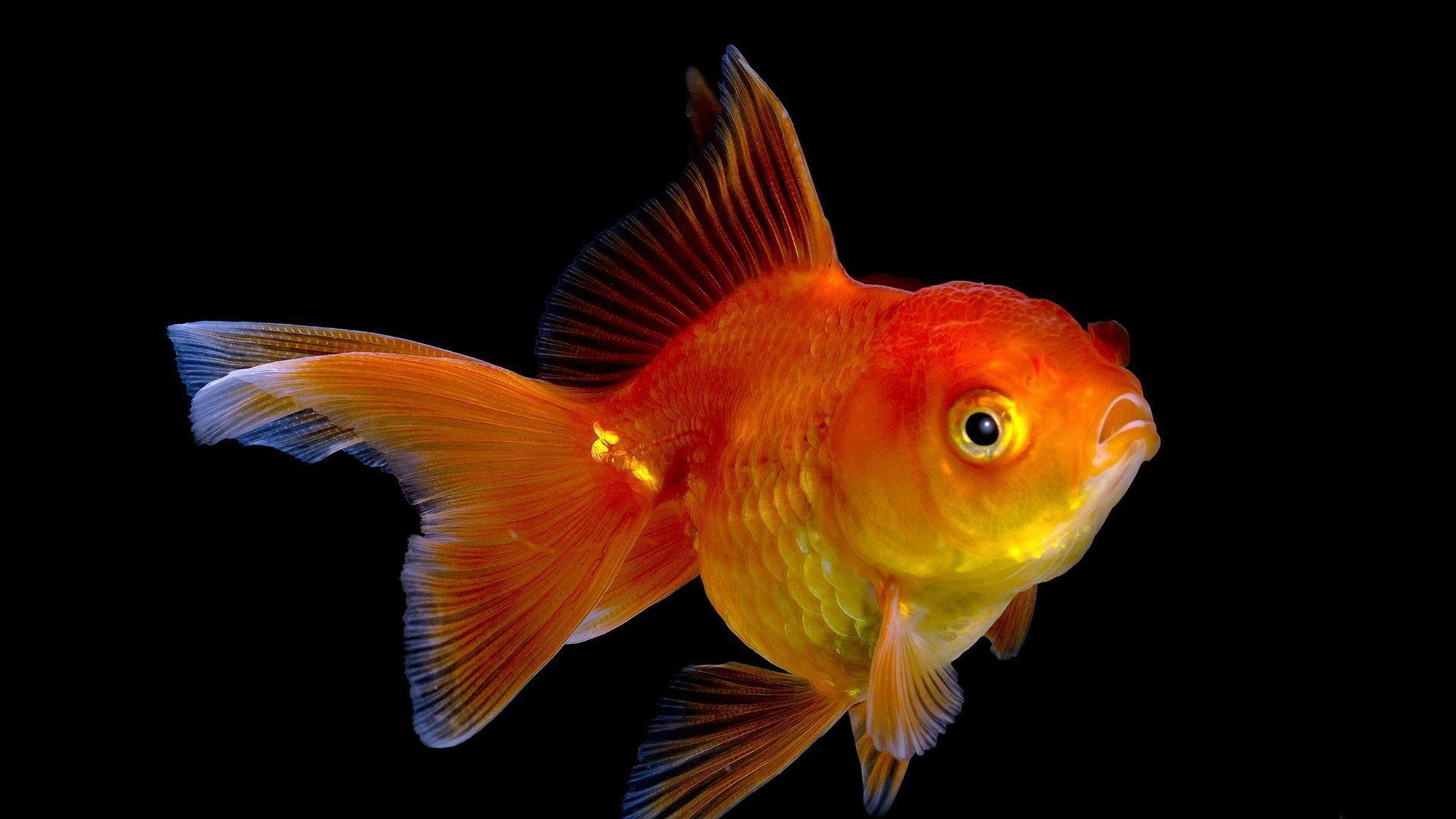 Gold Fish Wallpapers - Wallpaper Cave