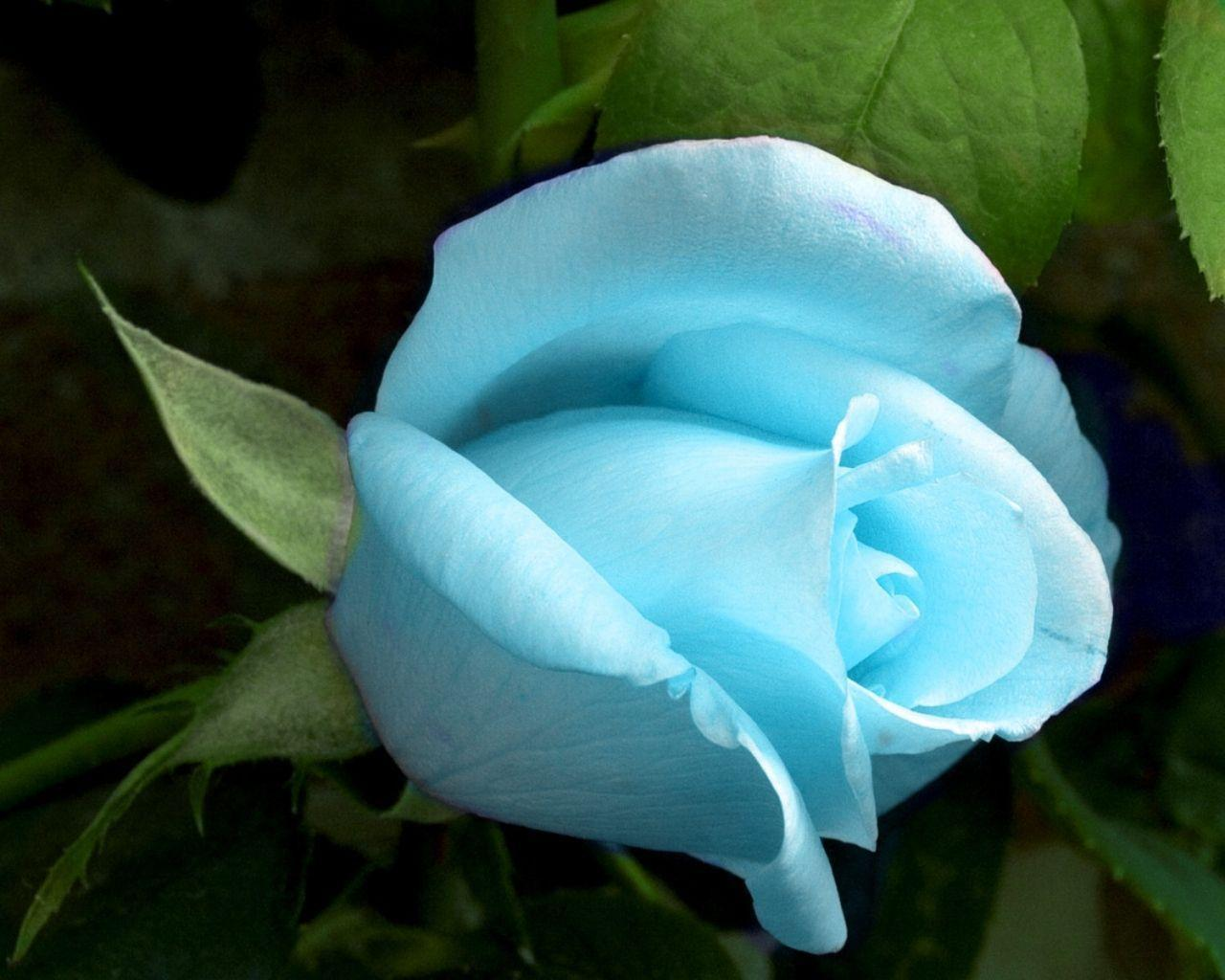 Blue Roses Wallpapers - Wallpaper Cave