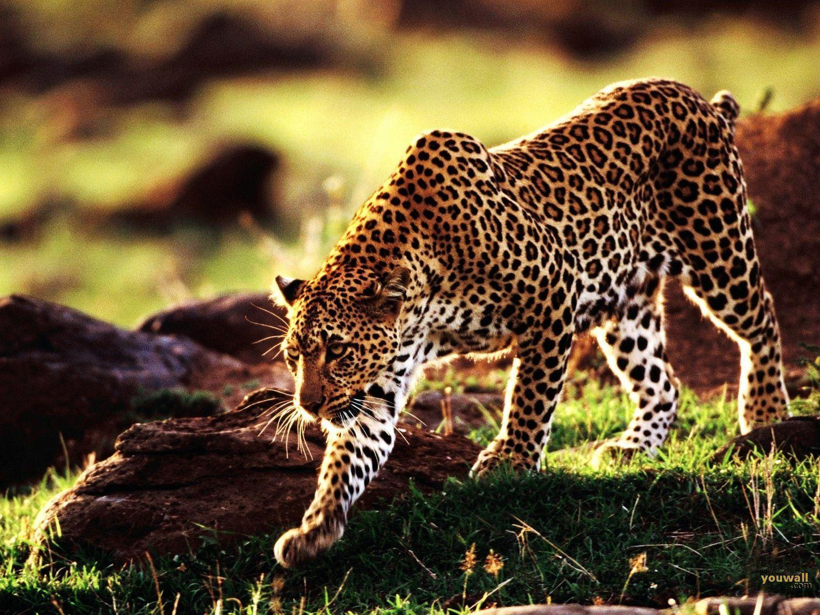 Wallpapers For > Iphone 5 Wallpaper Cheetah