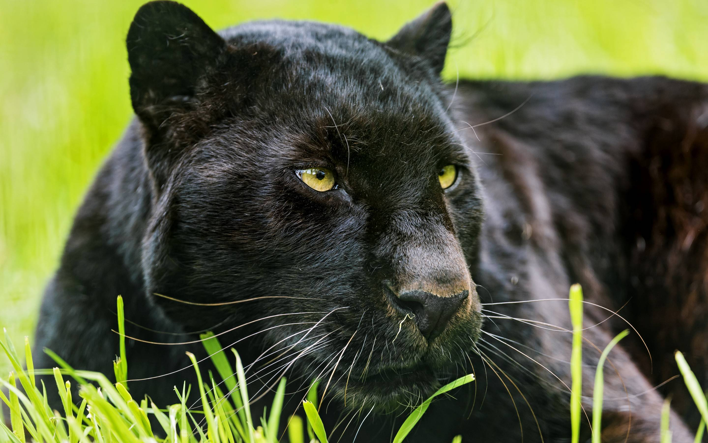 black leopard backgrounds - photo #36