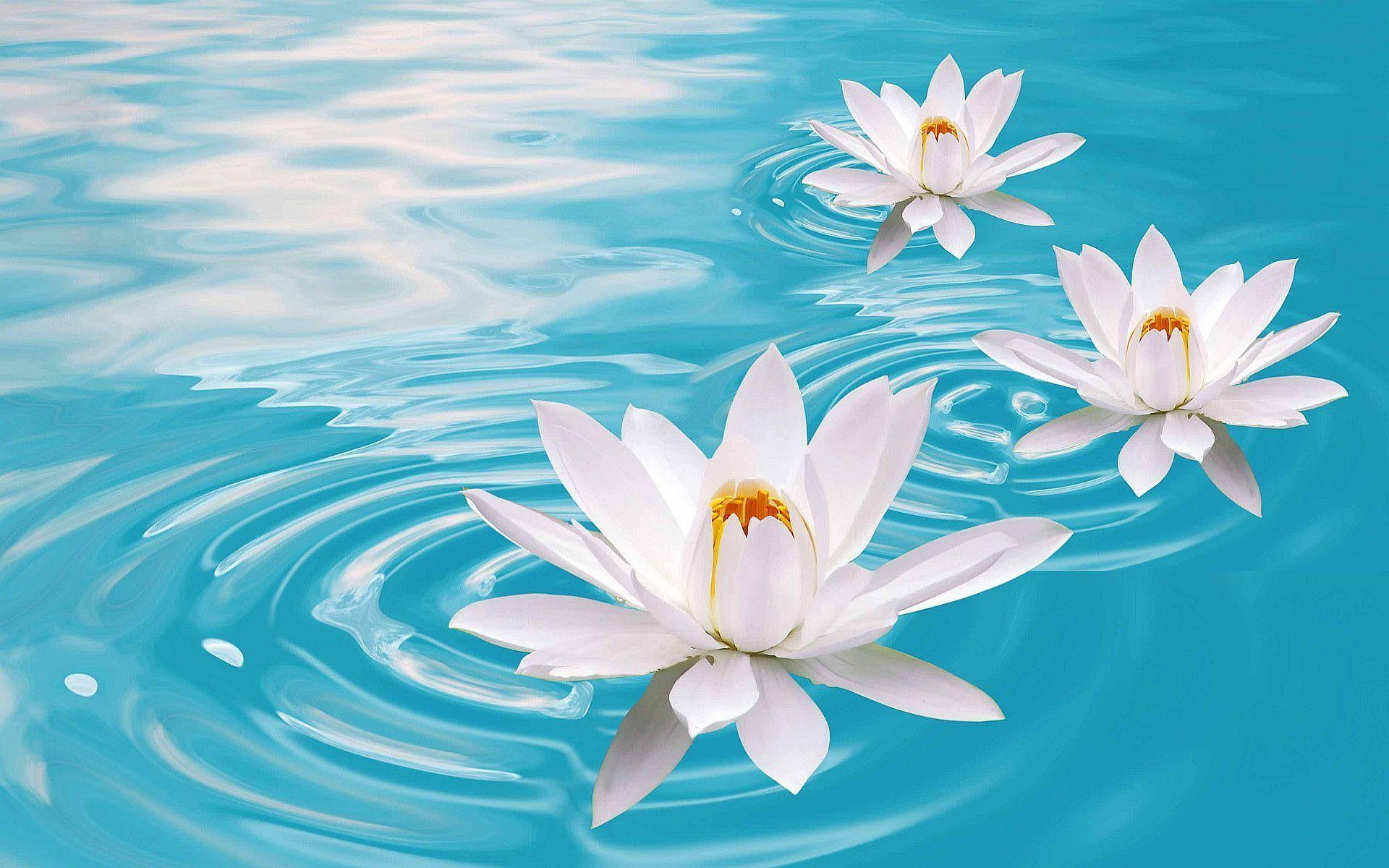 Lotus Flowers Hd Wallpapers