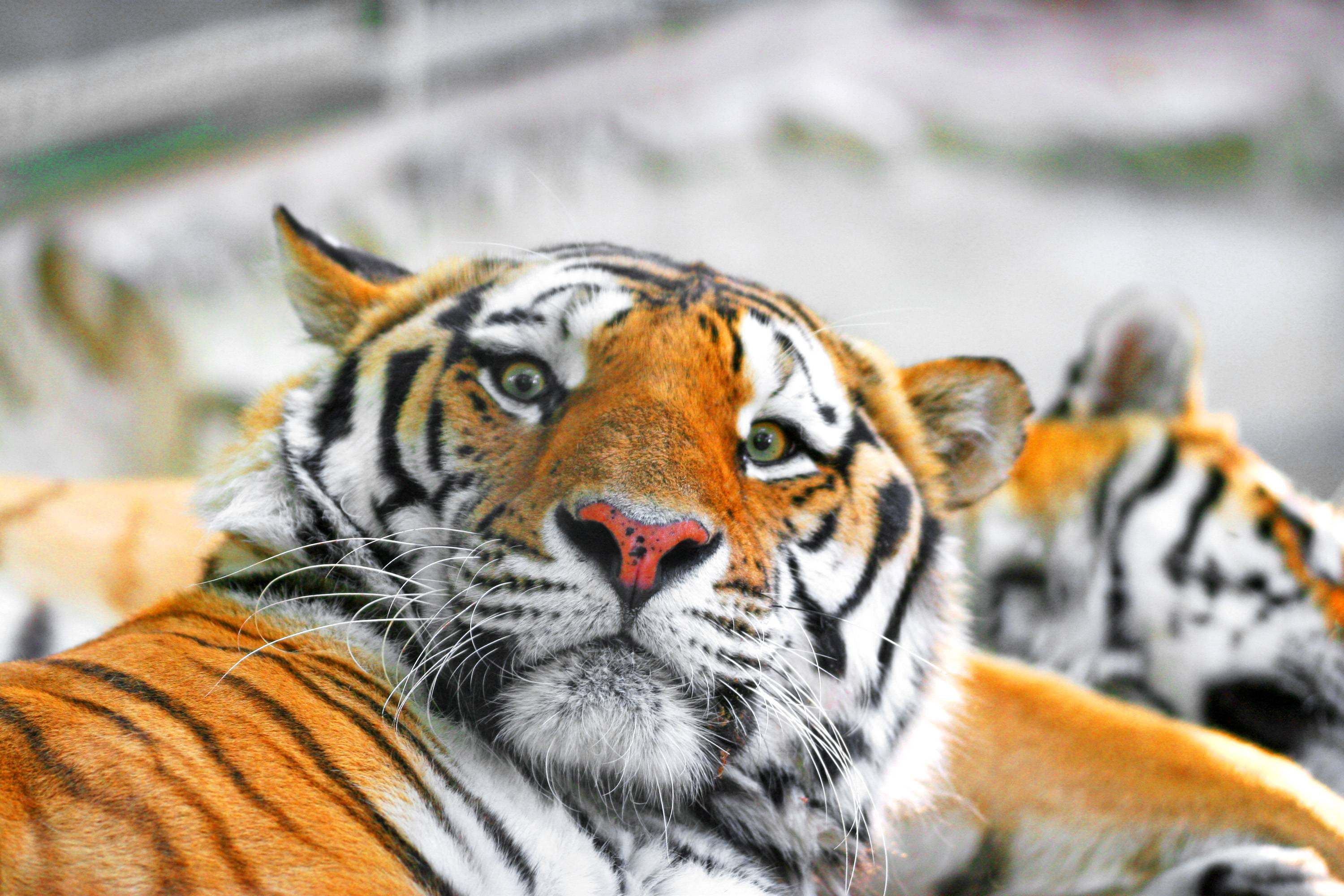 Siberian Tiger Wallpapers 7
