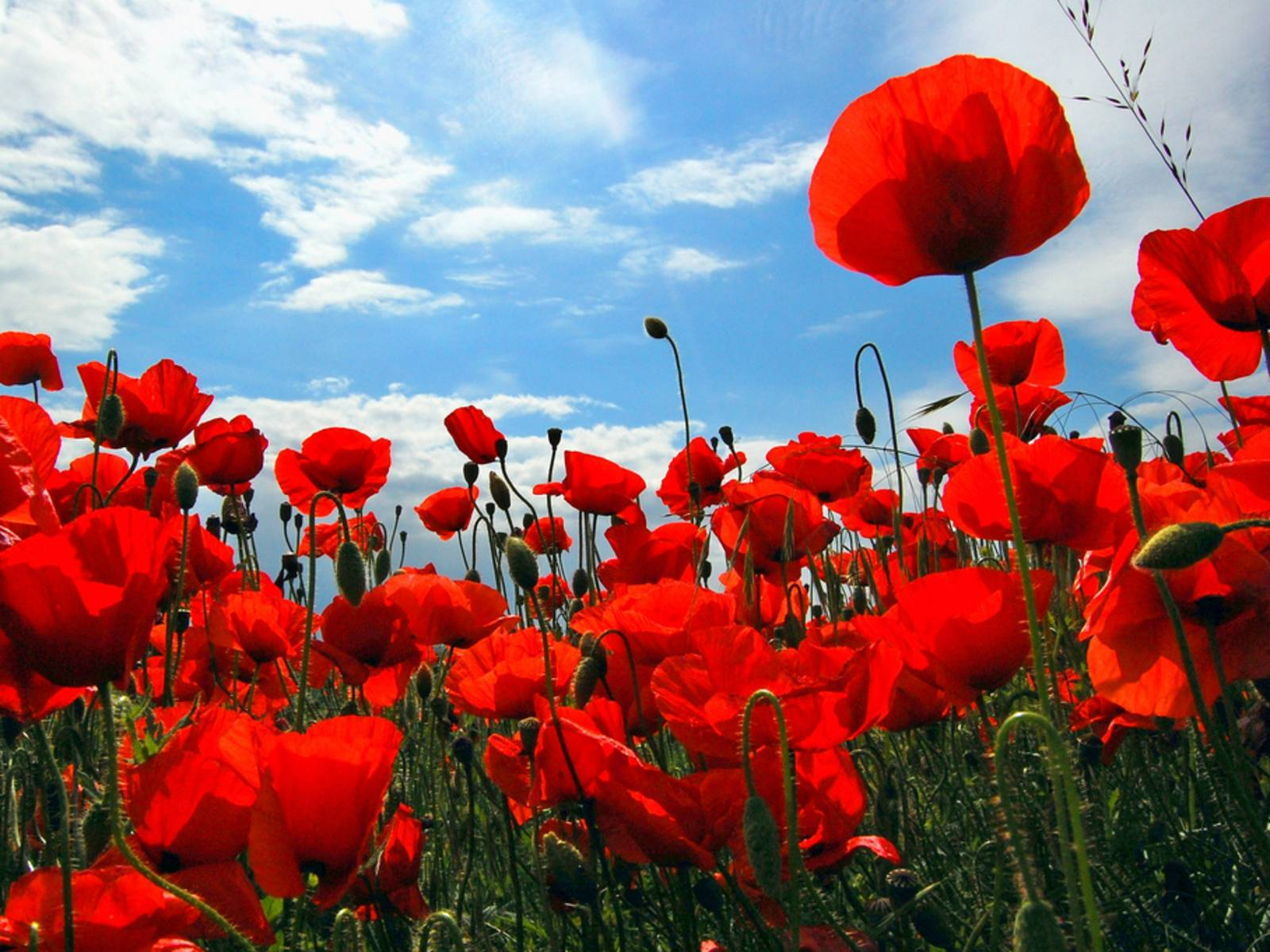 download wallpaper poppies red - photo #27