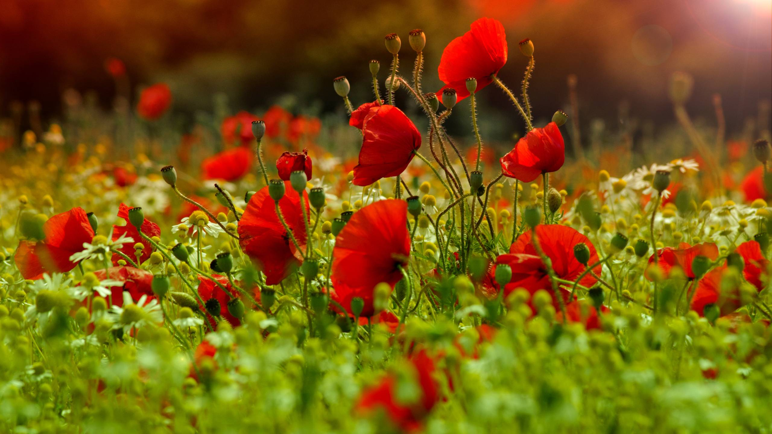Poppies wallpapers wallpaper cave - Poppy wallpaper ...