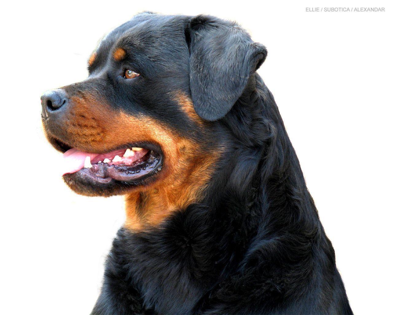 Beautiful Rottweiler - Rottweiler Wallpaper (13379005) - Fanpop
