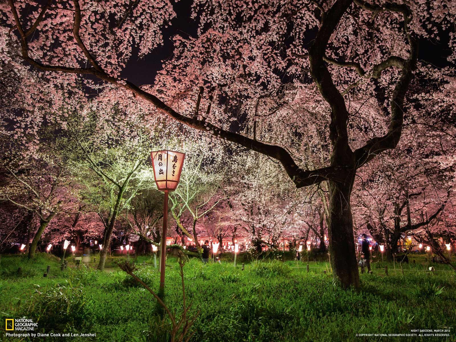 Cool Wallpaper Night Cherry Blossom - kPKrkog  Photograph.jpg