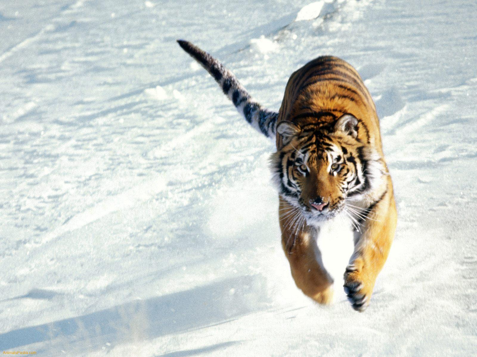 Siberian Tiger Wallpapers - HD Wallpapers Inn