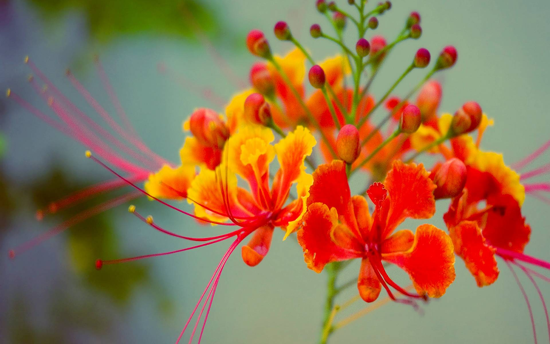 red exotic flower wallpaper - photo #38