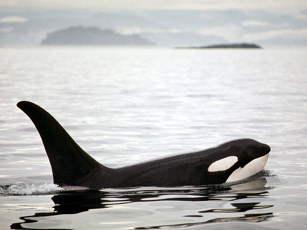 Animals For > Wild Orca Wallpaper