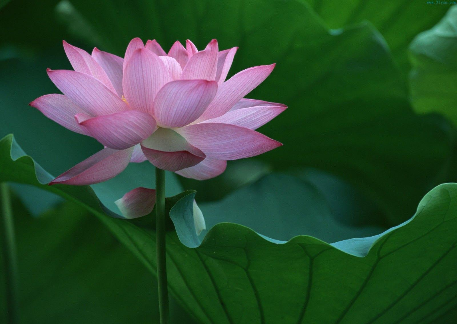 Cute Pink Lotus Flower Wallpaper for Computer HD - Free Download ...