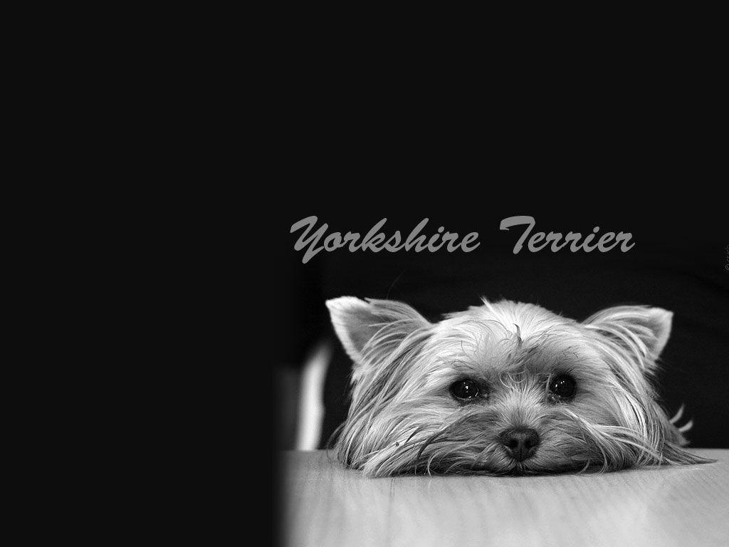 1024x768 wallpaper of yorkies - photo #10