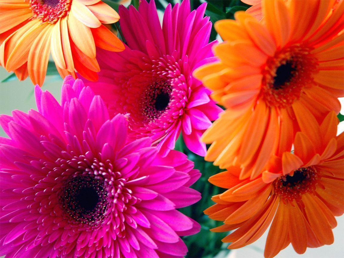 pink gerbera flowers wallpapers - photo #40