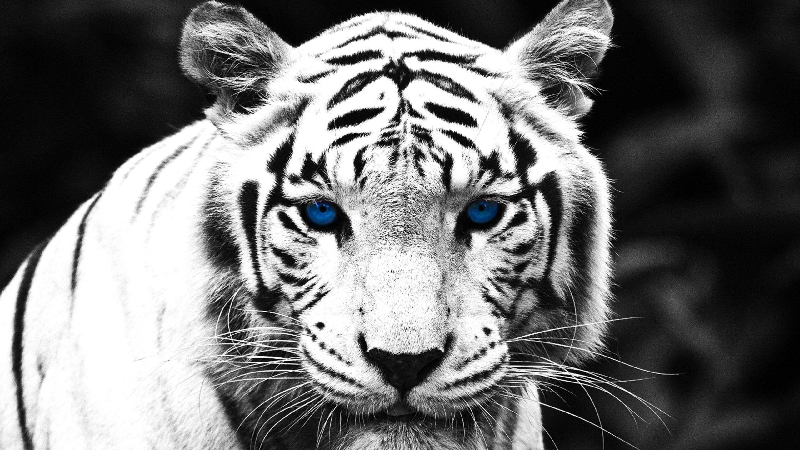 Blue Eyed White Tiger Wallpapers