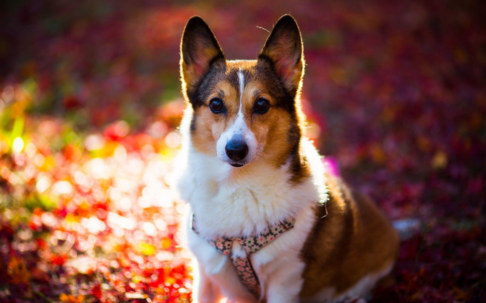 Corgi Wallpapers Wallpaper Cave