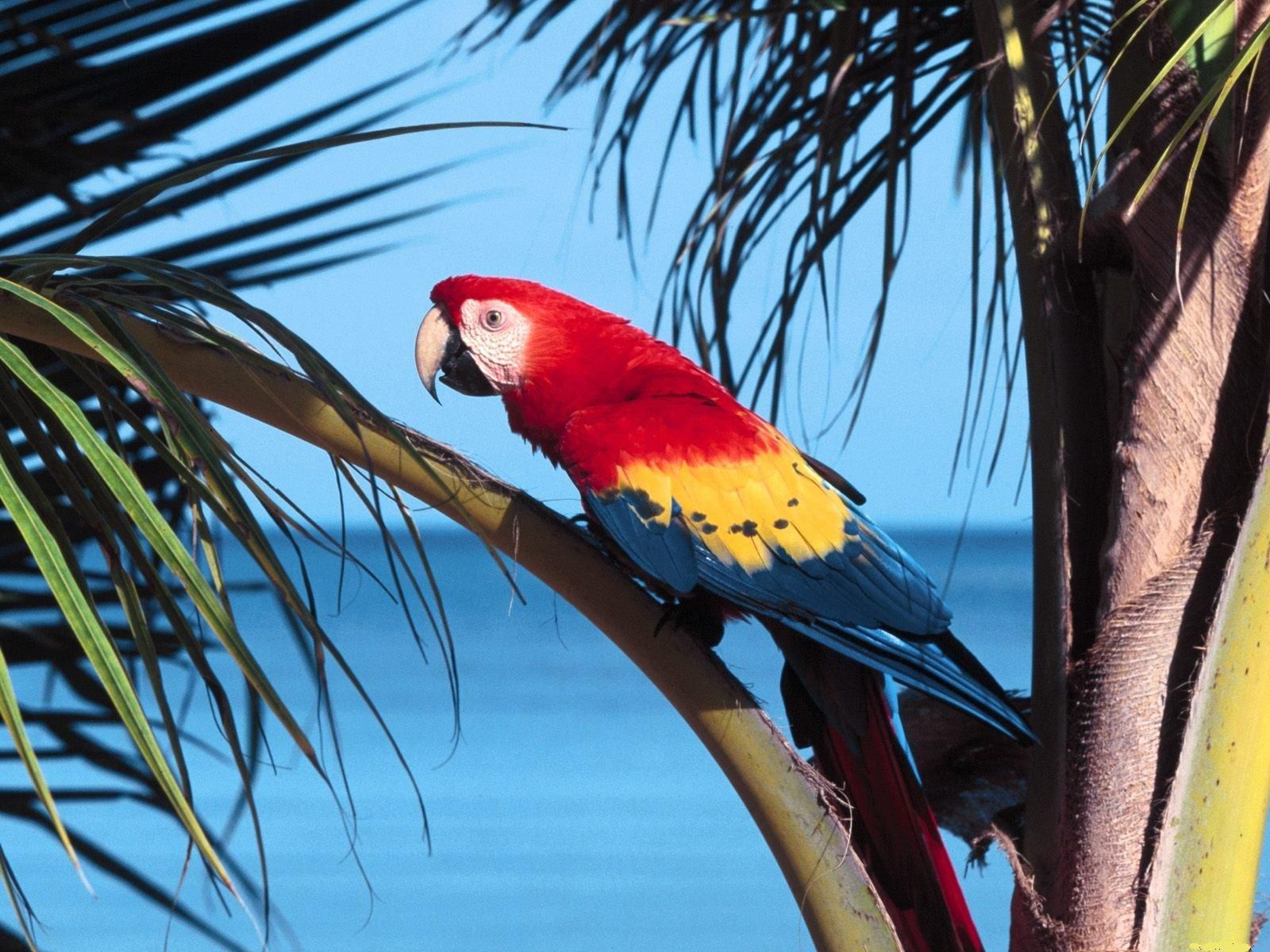 Scarlet macaw parrot in palm trees free desktop background - free ...