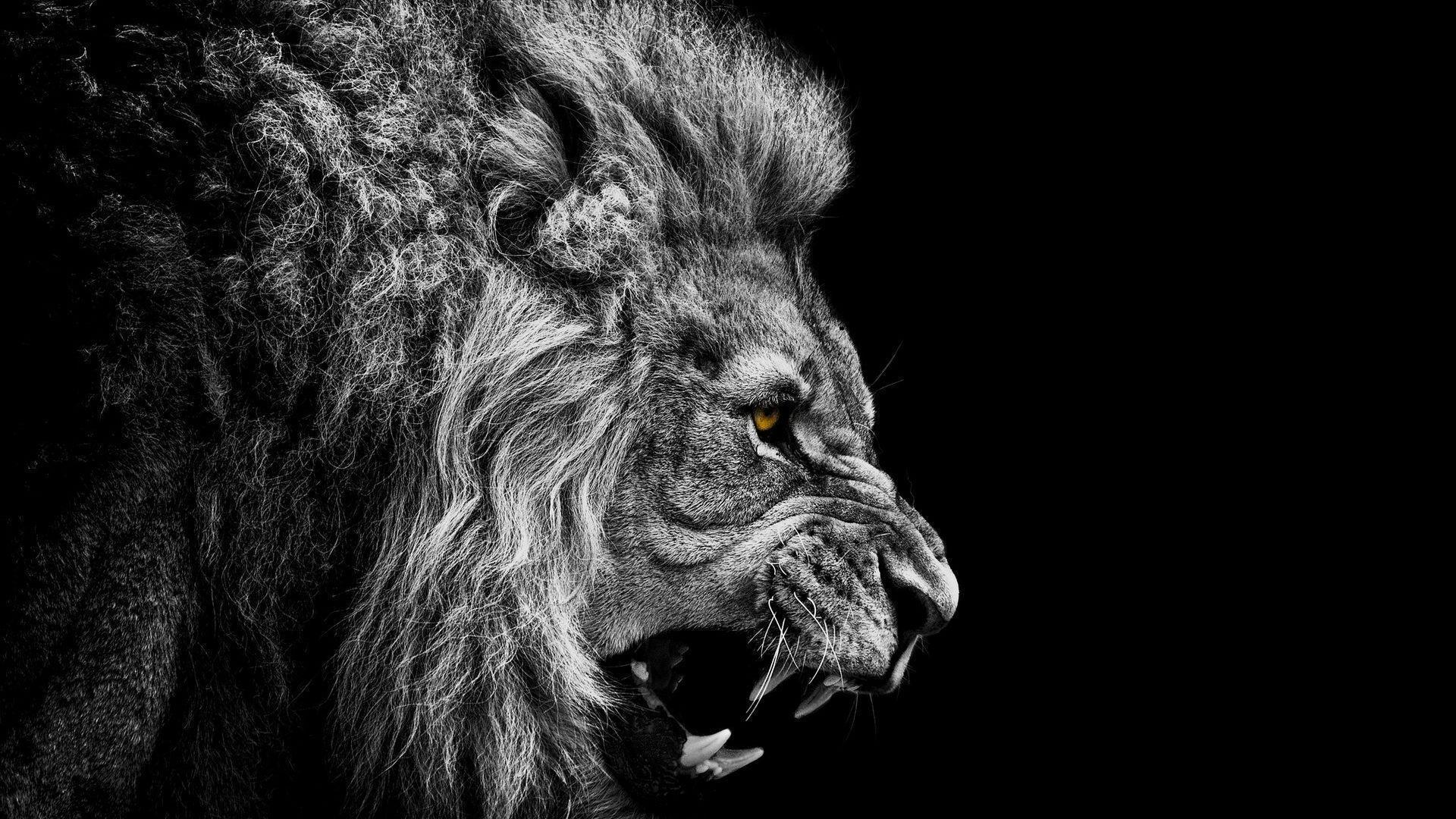 Lion Wallpaper HD 15 689 HD Wallpaper | Wallroro.