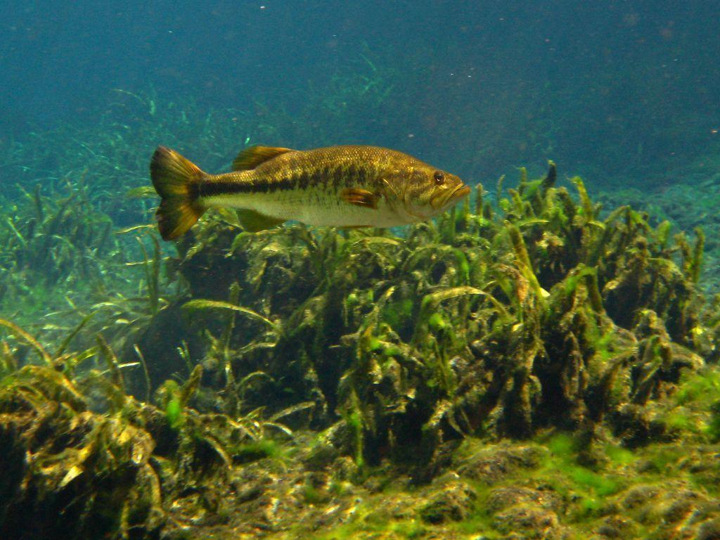 Images For Big Largemouth Bass Wallpaper