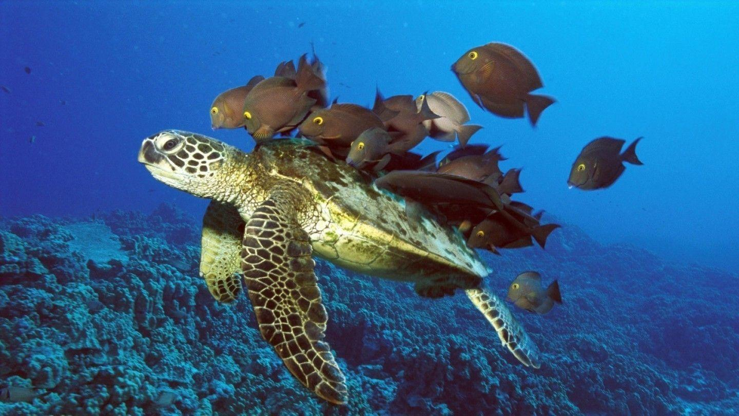 Sea Turtle wallpaper - Turtles Wallpaper (10957583) - Fanpop