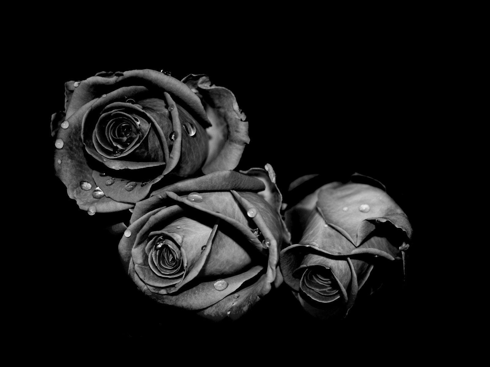 Wallpapers For > Single Black Rose Wallpapers