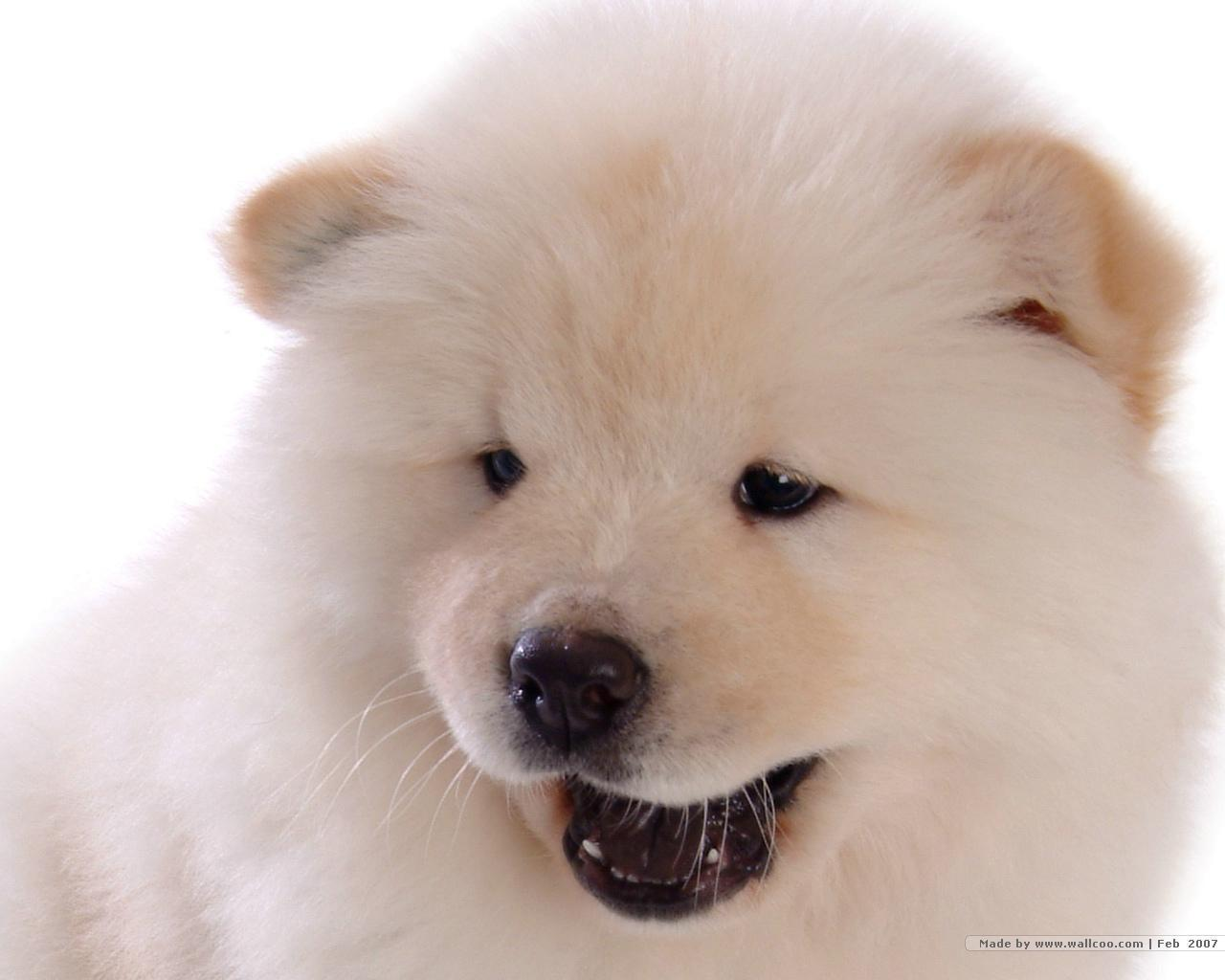 Dogs And Puppies Wallpaper Chow Chow Wallpapers -...
