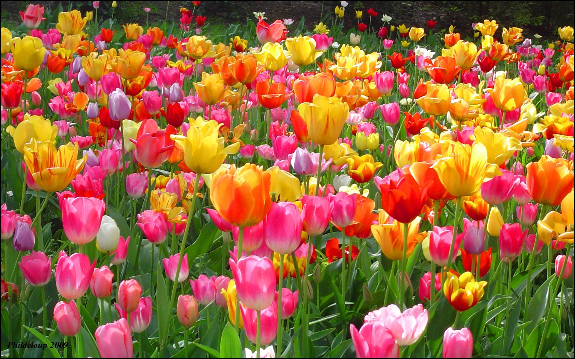 spring city tulips wallpaper - photo #19