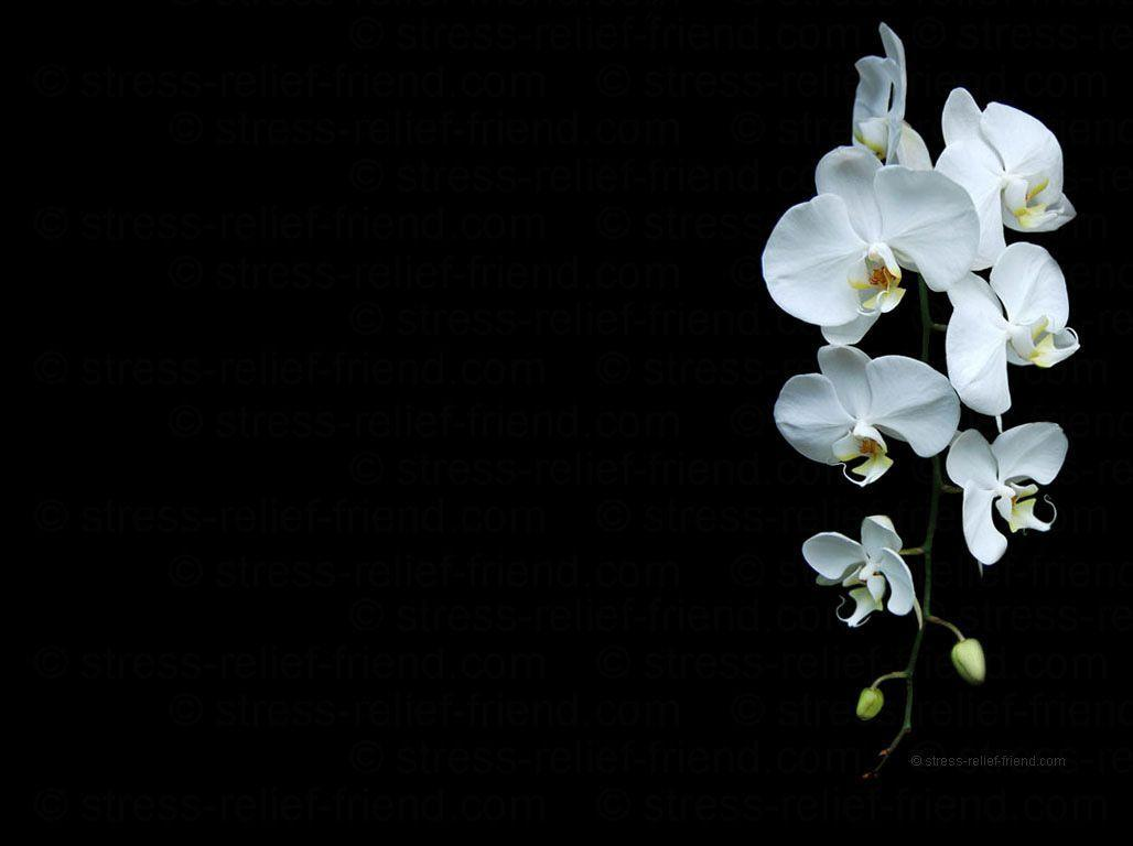 orchid wallpapers backgrounds images - photo #8