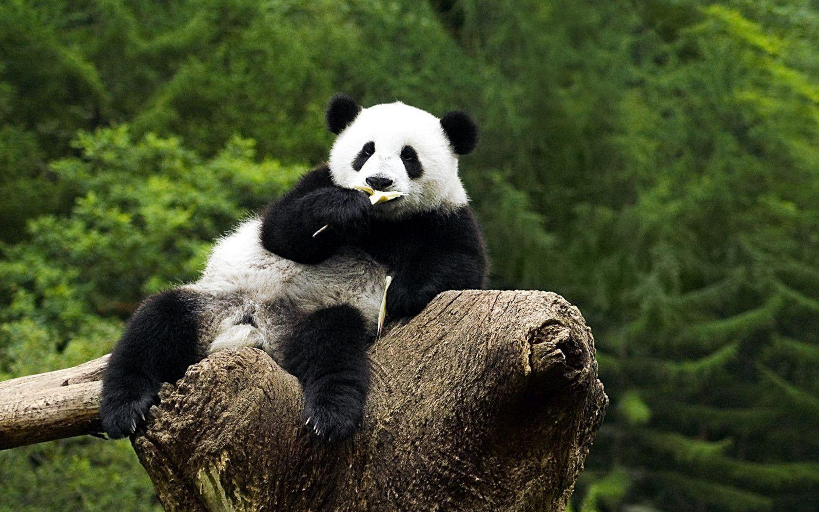 background wallpaper panda - photo #29