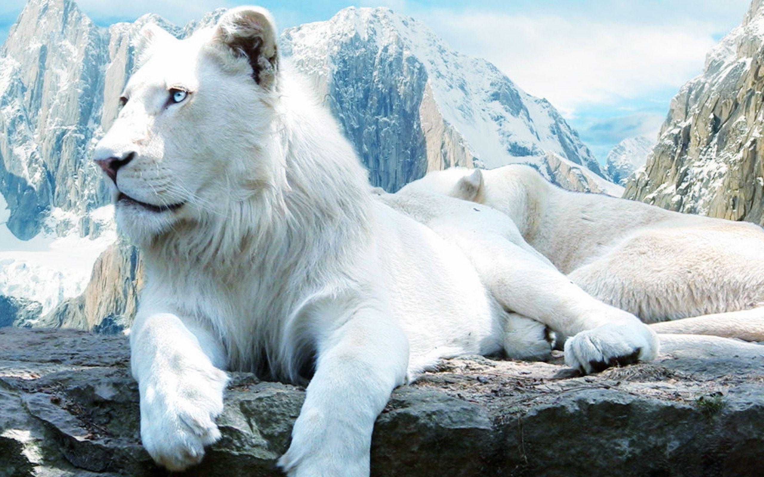 White Lion Wallpapers  Full HD wallpaper search