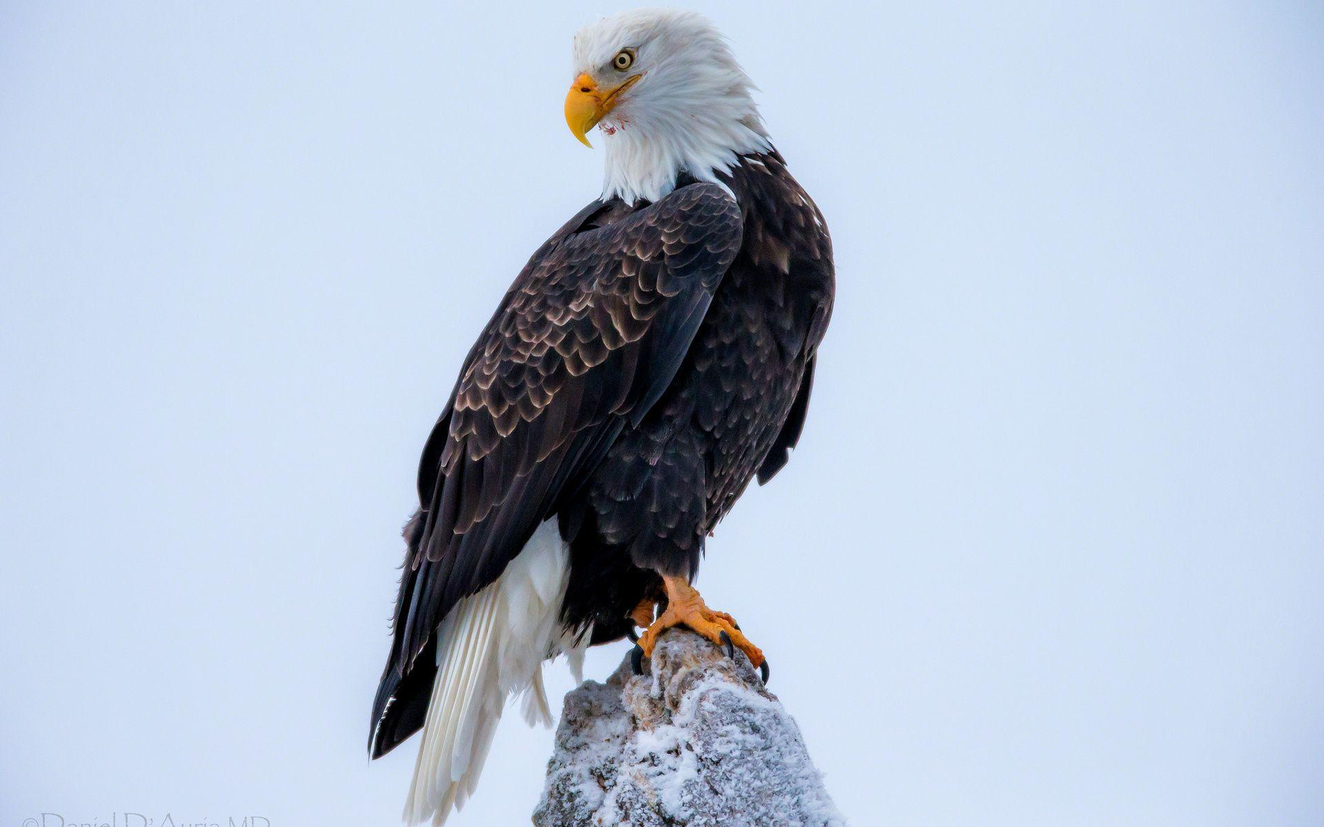 Bald Eagle Desktop Wallpapers - Wallpaper Cave