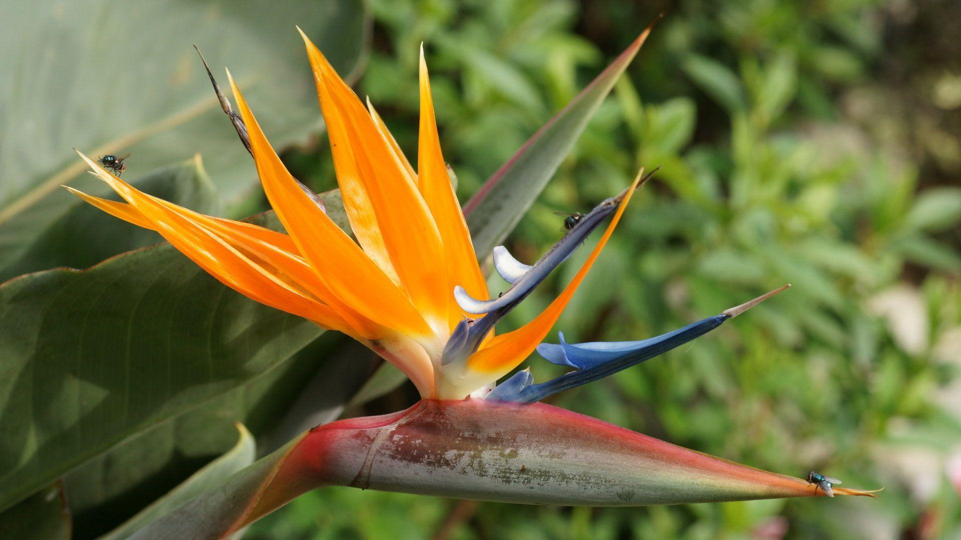 Wallpapers Birds Of Paradise  Wallpaper Cave