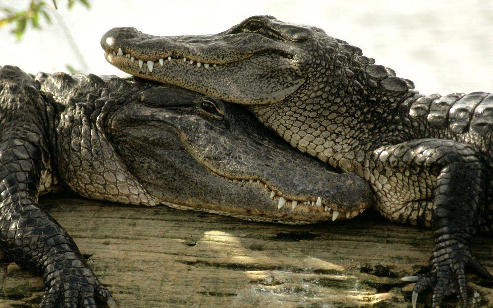Crocodile Wallpapers - Barbaras HD Wallpapers