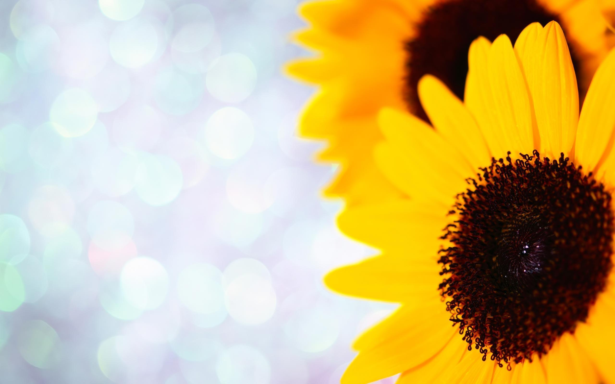 sunflower backgrounds wallpaper cave